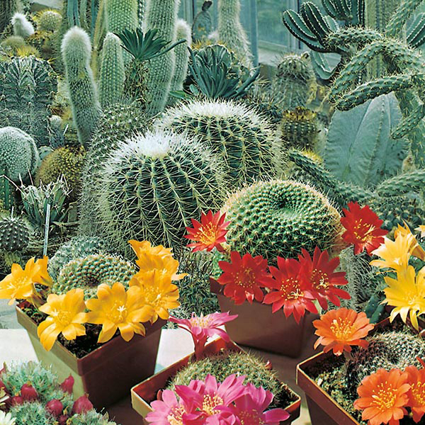 Cactus Flowers of the Desert Seeds from Mr Fothergill s Seeds and Plants Cactus Flowers of the Desert
