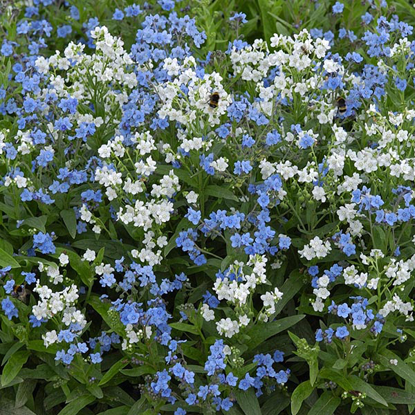 Chinese Forget Me Not Chill Out Seeds from Mr Fothergill s Seeds and     Chinese Forget Me Not Chill Out Seeds