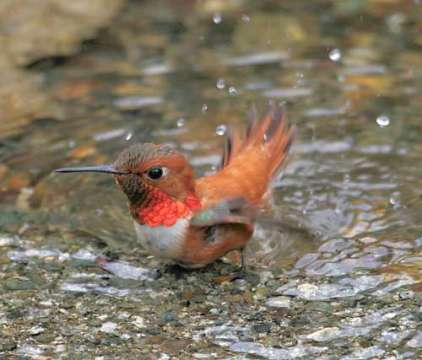 hummingbird bathing in a puddle