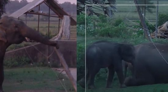 (VIDEO) Smart Elephant herd crawl under & break through fence to reach farmland