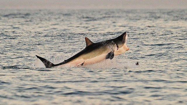 Os tubarões são espécies de vida longa que tendem a produzir poucos filhotes. Fonte: GETTY IMAGES.