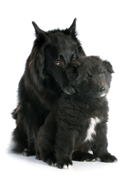 Belgian Shepherd Dog Groenendael Dogs Breed