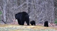 5. Black Bears