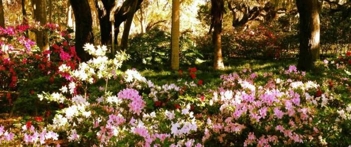azalea bloom