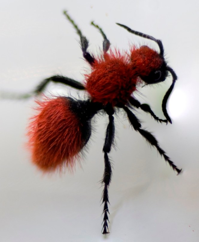 Red Velvet Ants Are A Species Of Wasp And Have Differentiated Look Due To The Red Orange Coloured Hair That They Possess The Major Difference Between