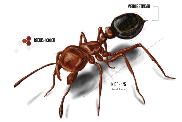 Don T Get Burned Tips To Prevent Fire Ants