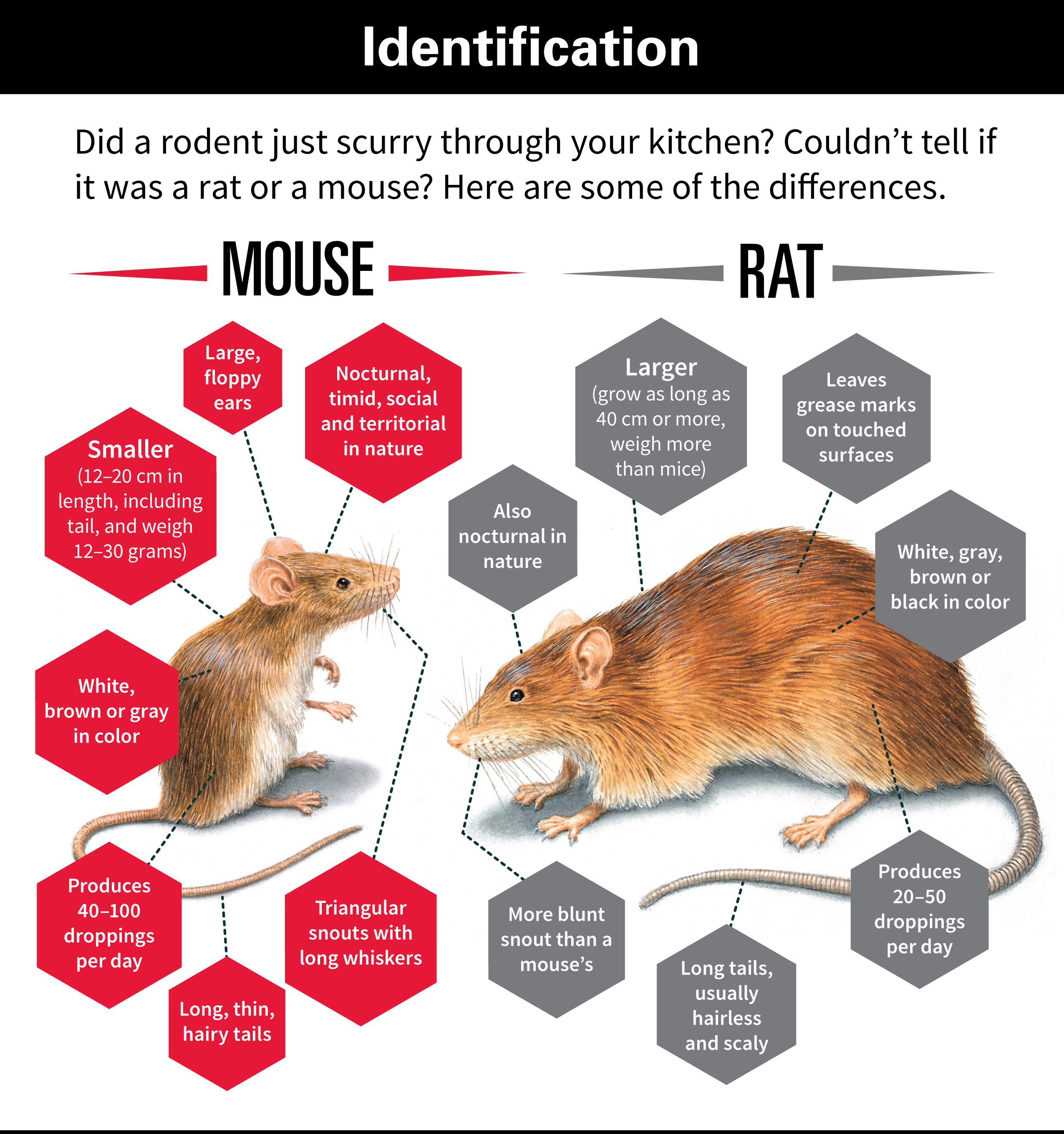 What Does A Mouse Look Like Vs A Rat