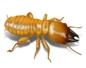 دامبوود النمل الأبيض