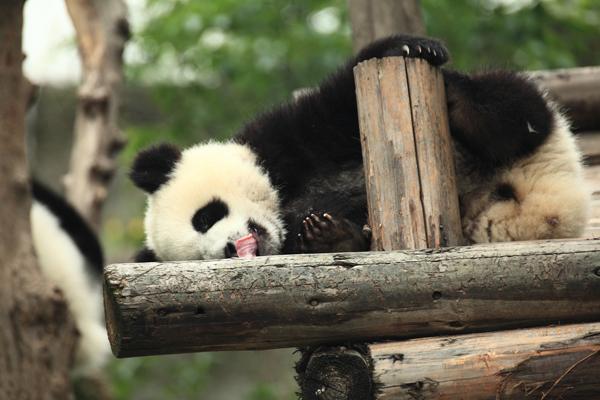 Panda_China.jpg