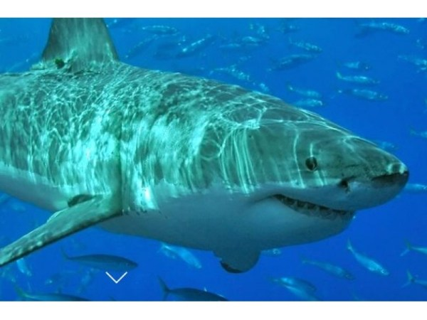 Great White Shark Spotted Off Cape Cod in First Summer ...