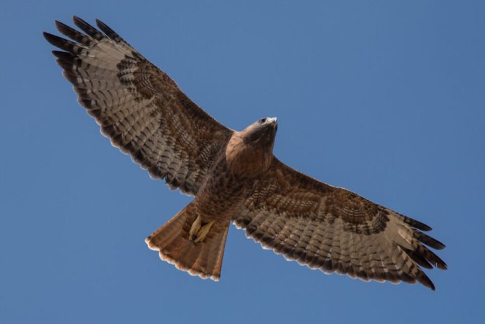 Hawk in Flight with 300mm f4 & 1.7x TC