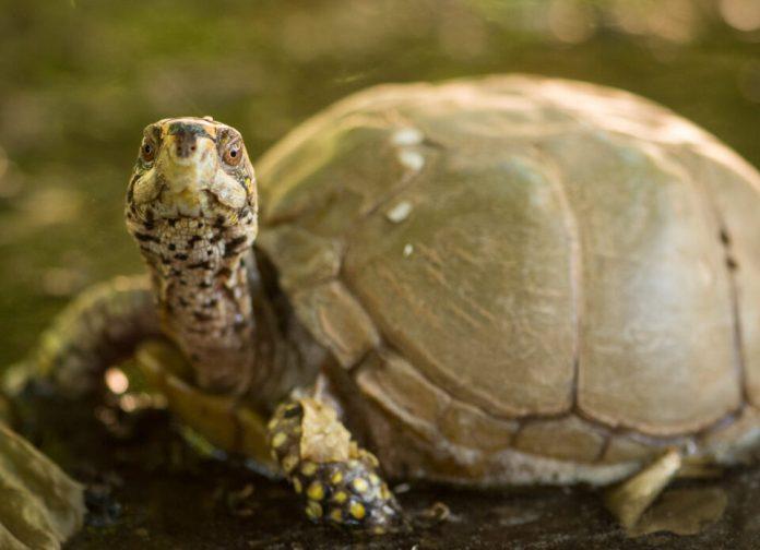 Verm-Box-Turtle-captive-D7200-7843