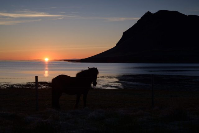 Fjord Horse-1
