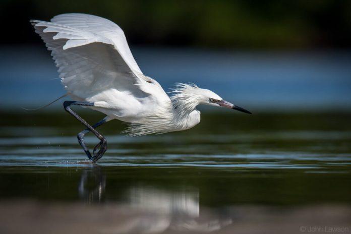 Reddish Egret (white morph) - Nikon D500, 600mm f/4, ISO 220 1/4000s f/5.6