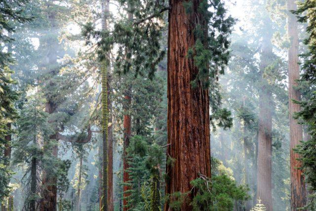 Redwood trees and mist
