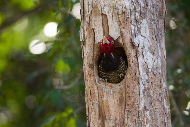 4. Pale Billed Woodpecker, Mexico