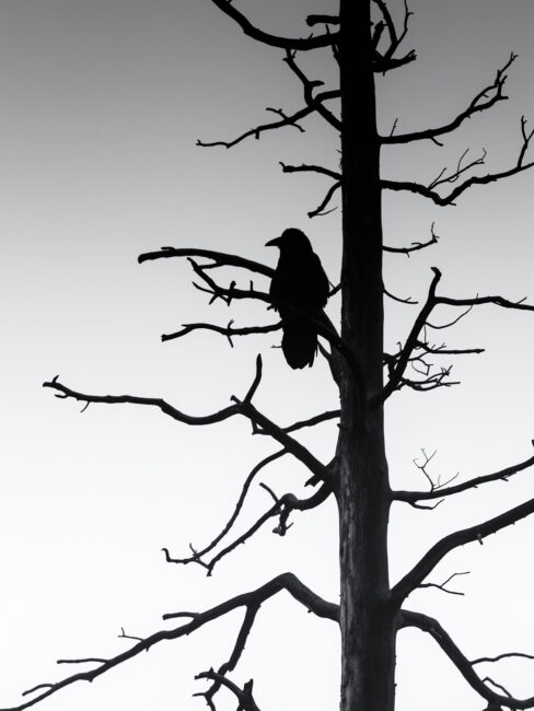 5. Crow and Dead Tree, Yellowstone