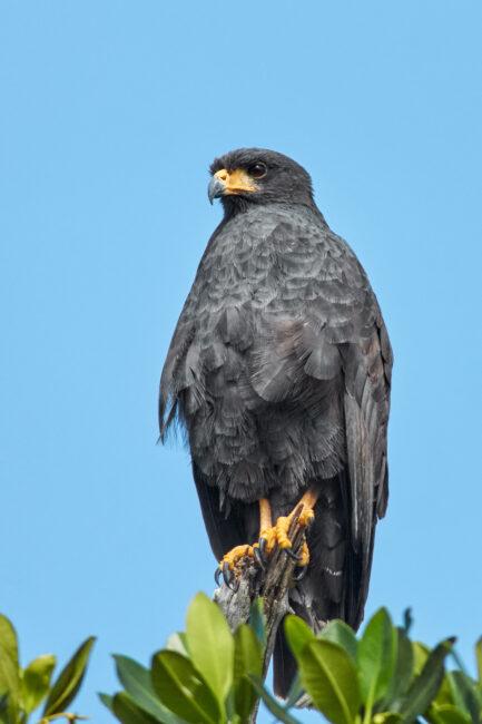 7. Black Hawk, Mexico