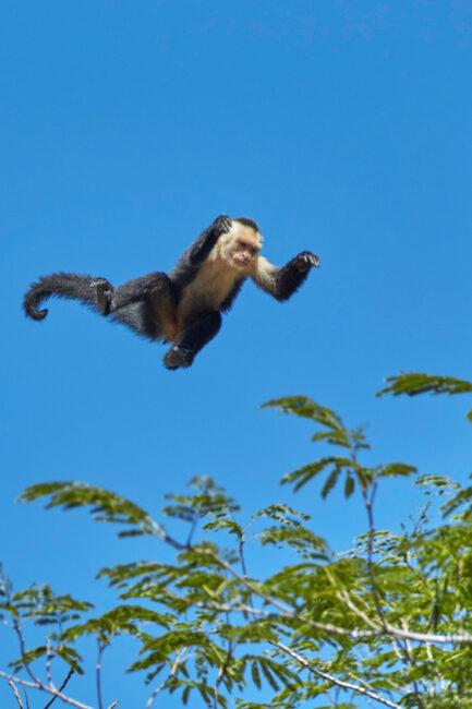 9. Capuchin Monkey Jump, Costa Rica