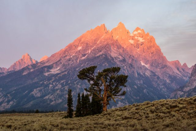 Patriarch Tree Grand Teton from Distant Perspective
