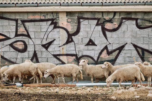 18. Sheep and Graffiti