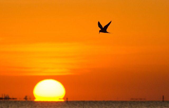 Sunset Tern