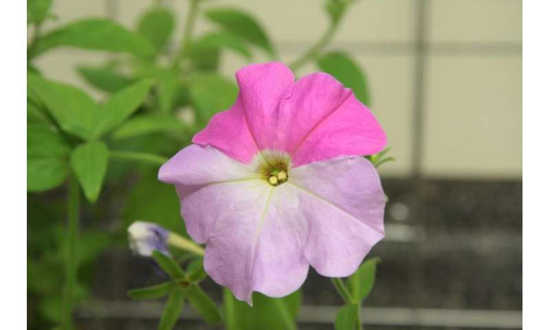 Researchers identify gene in petunias responsible for controlling how much UV light is absorbed