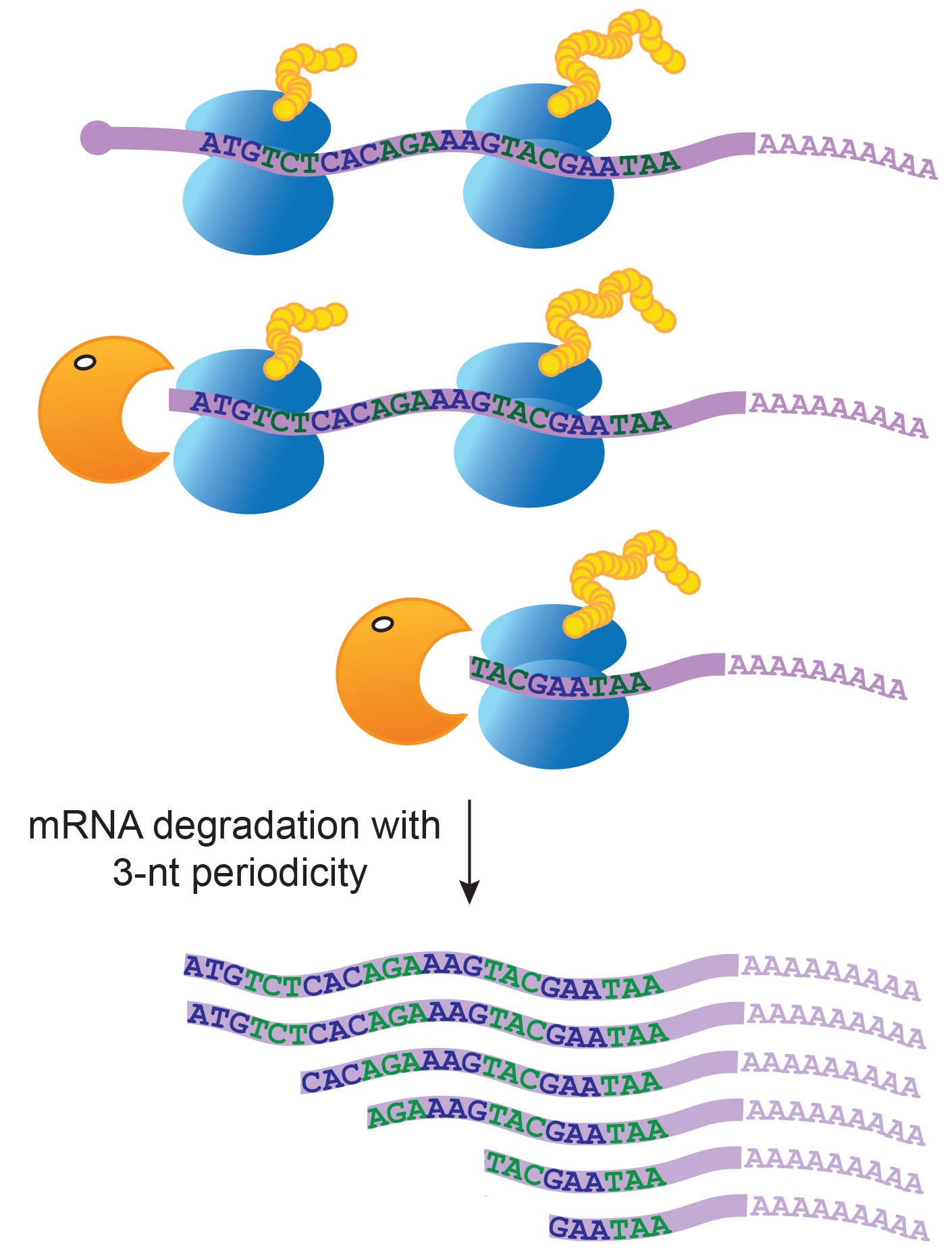 Decaying Rna Molecules Tell A Story