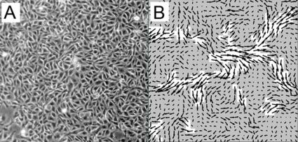 Applied physicists discover that migrating cells flow like glass
