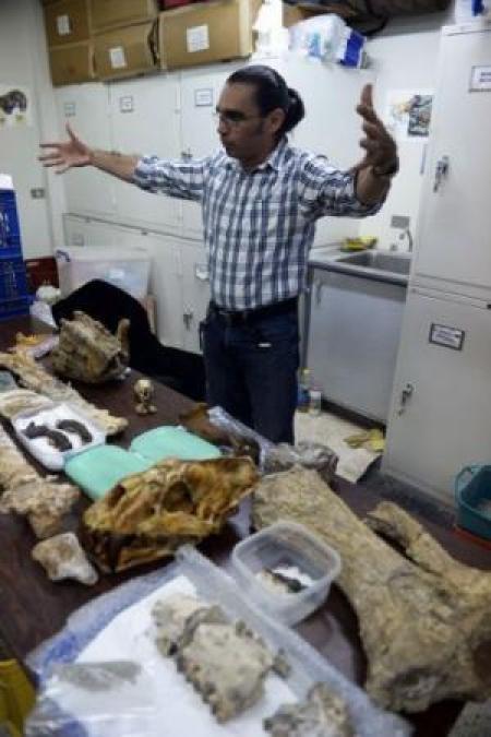 Paleontologo Ascanio Rincon mostra ossa di animali phehistoric trovati in Venezuela, a Caracas il agosto 30, 2013