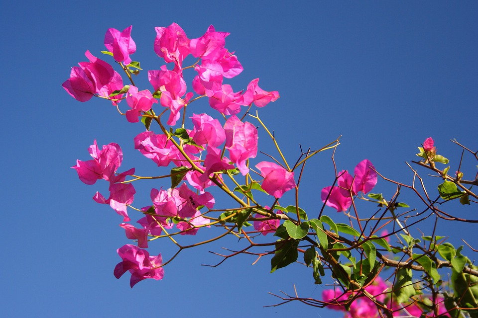 You Have Cancer-Breaking The Bad News, Bougainvillea, Flora, Flower, Leaves