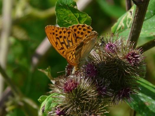 Fritillaria, Farfalla, Natura, Animale, Bardana, Ala