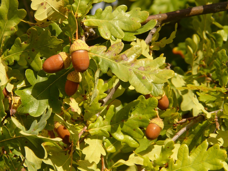 シャフト オーク, Pedunculate オーク材, ヨーロッパナラ, コナラ Pedunculata