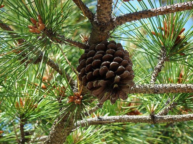 Pine Cone Tree Background