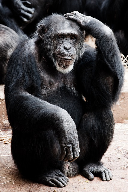 Free Photo Animal Ape Black Clever Face Free Image