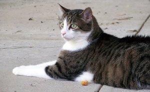 猫, ネコ, ハローキティ, 歩道, 嘘, 外, 家畜化された, ペット, 子猫