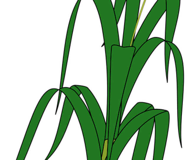 Free Grain Wheat Vectors Pixabay
