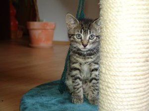 猫, 猫の肖像画, サバ, 猫の赤ちゃん, 子猫, 動物