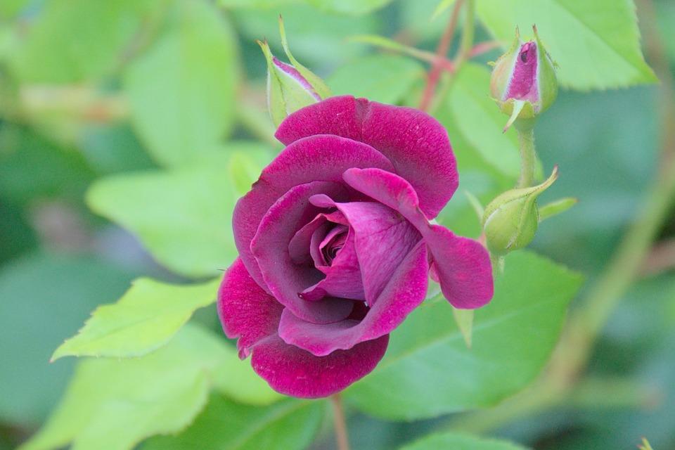 Rose Green Purple Free Photo On Pixabay