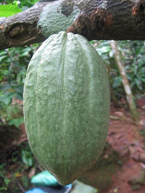 Cocoa Bean Fruit Free Photo On Pixabay