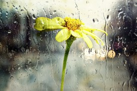 Rain, Wet, Window, Glass Yellow, Flower, Nature