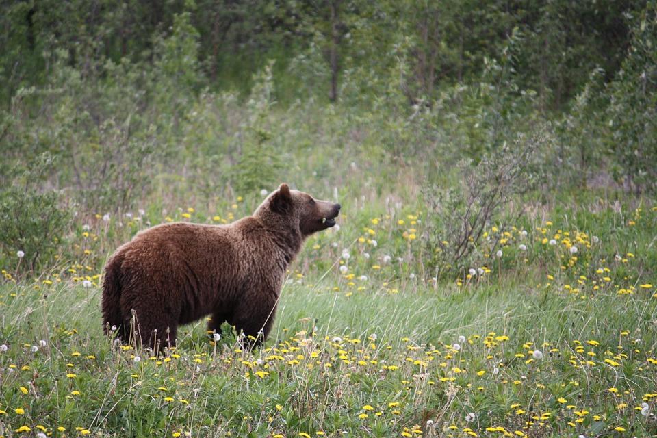 Grizzly, Grizzly Bear, Bear, Bears, Canada, Alaska