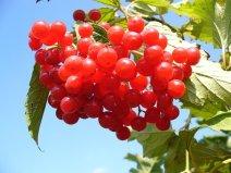Cranberry Cranberries Bush Sky Clouds