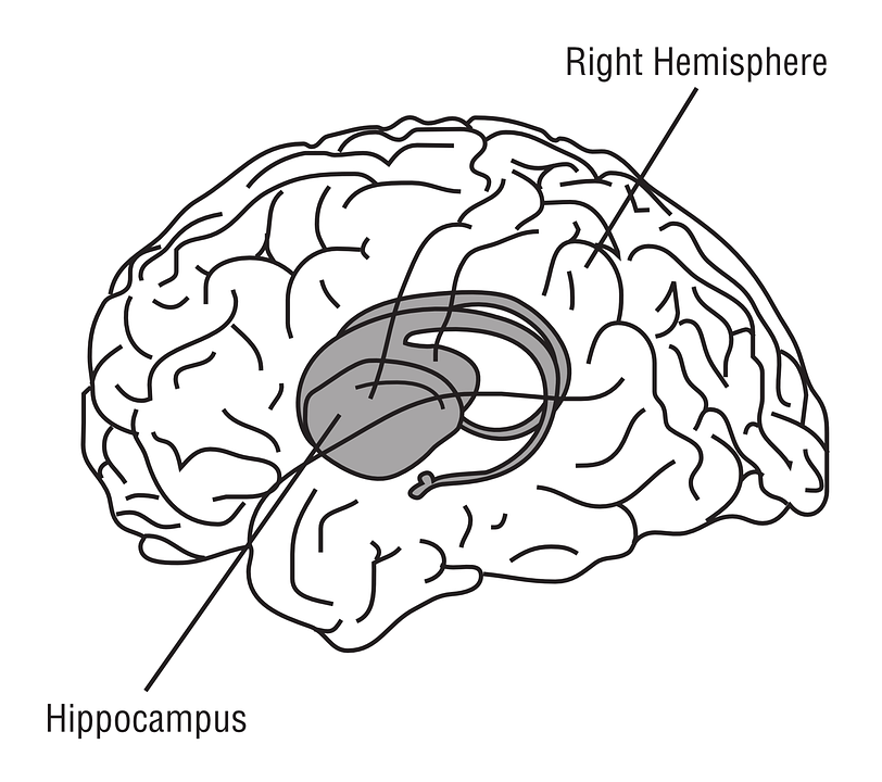 Free Vector Graphic Hippocampus Brain Anatomy Free