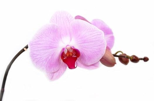 Orchidea, Fiore, Isolato, Decorazione, Bud, Vibrante