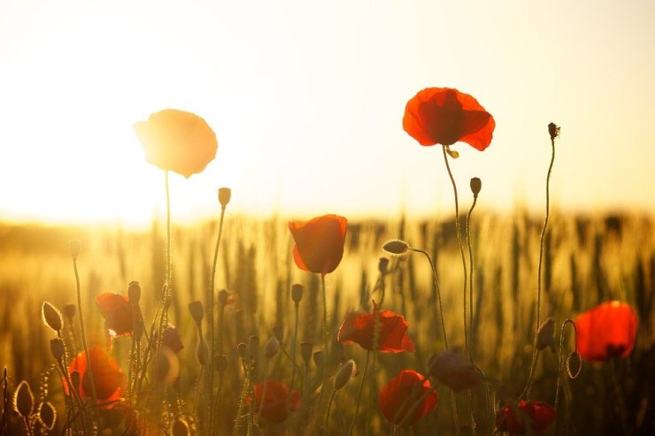 Sunset, Poppy, Backlight, Flowers, Field, Summer