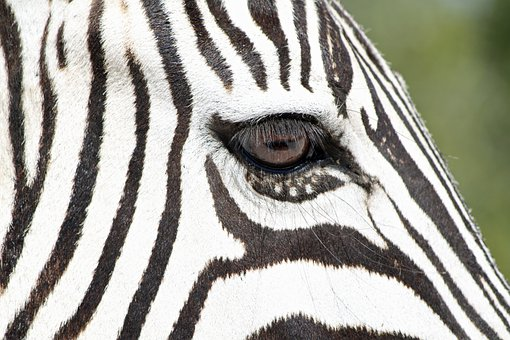 Zebra, Wild Animal, Wildlife, Namibia