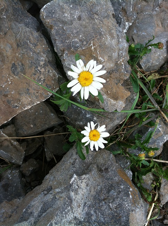 Free Photo Perseverance Hope Daisy Flower Free Image