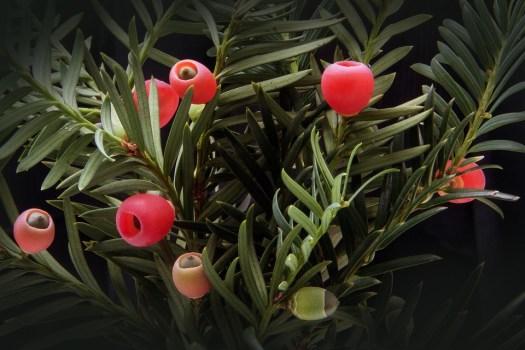 Tasso, Taxus, Impianto, Bush, Sempreverde, Taxaceae