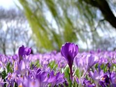Bloemen, Krokus, Het Voorjaar, Park, Zee Van Bloemen